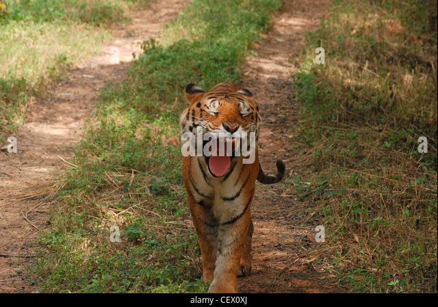 Tiger, Gähnen; wildes Leben Heiligtum, Indien. Bengal Tiger ist das Nationaltier von Indien. Stockbild