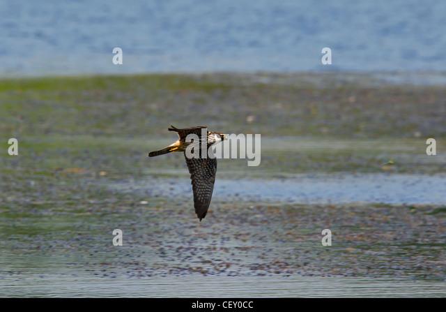 Eurasian Hobby (Falco Subbuteo) jagen Libellen über See, Deutschland Stockbild