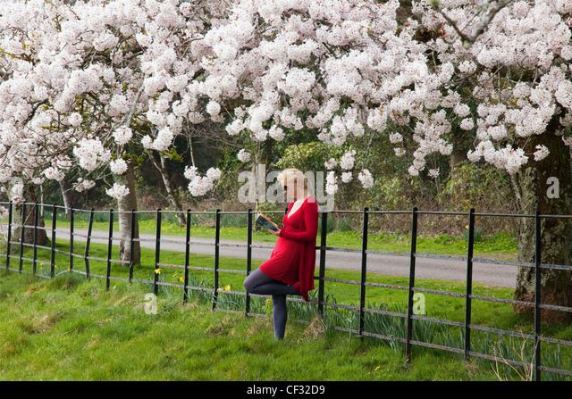 Eine junge Frau lehnt sich gegen einen Zaun und liest ein Buch unter den Kirschblüten; Killarney County Kerry Stockbild