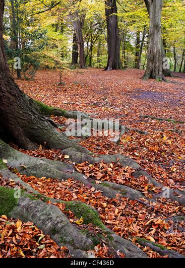 Eine Schicht aus rotbraunen Blätter Teppich Boden Herbst erreicht ihren Höhepunkt im Dibbinsdale Nature - Stock-Bilder