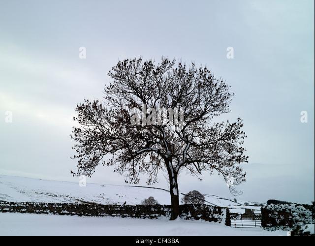 Schnee bedeckt den Boden durch einen Baum und traditionelle Trockenmauer in einer abgelegenen Ecke der Yorkshire Stockbild