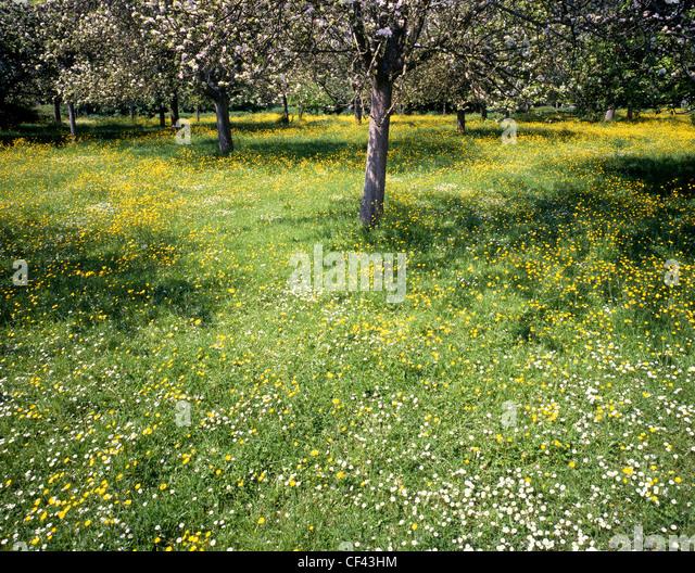 Ein blühender Obstgarten in ländlichen Herefordshire. Stockbild