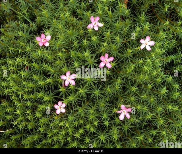 Wilde Blumen entstehen, um einen Patch von grünem Moos dekorieren. Stockbild
