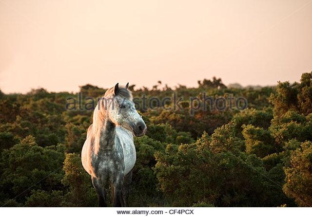 Ein New Forest Pony auf der Heide in der Morgendämmerung. Stockbild