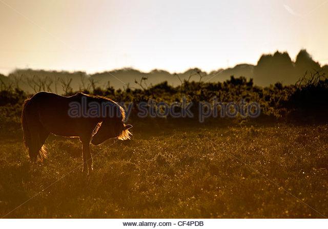 Eine Silhouette eines New Forest Ponys auf der Heide in der Morgendämmerung. Stockbild