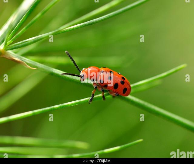 beetle stockfotos beetle bilder alamy. Black Bedroom Furniture Sets. Home Design Ideas