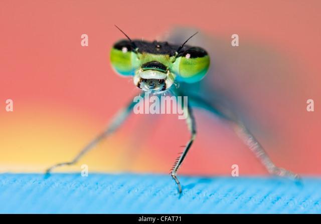 Nahaufnahme der Libelle mit offenem Mund Stockbild