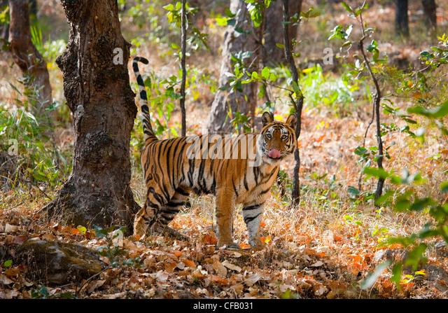 Bengal Tiger markiert sein Territorium, Bandhavgarh National Park, Madhya Pradesh, Indien Stockbild