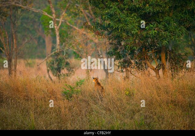 Bengal Tiger jagen, Bandhavgarh National Park, Madhya Pradesh, Indien Stockbild