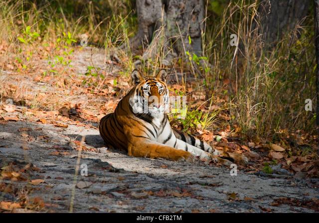 Bengal Tiger, Bandhavgarh National Park, Madhya Pradesh, Indien Stockbild