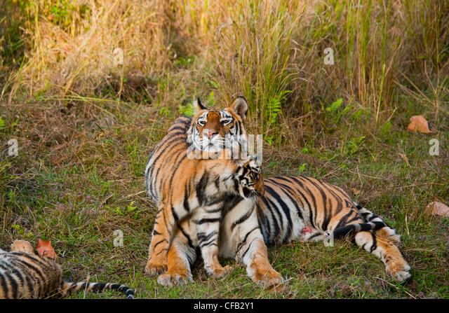 Bengal Tiger-Mutter mit jungen, Bandhavgarh National Park, Madhya Pradesh, Indien Stockbild