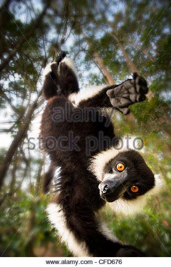 Erwachsene schwarz & Ruffed Lemur in aufschiebende Haltung. Andasibe-Mantadia Nationalpark, östlichen Madagaskars Stockbild