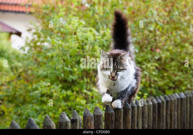 Hauskatze, balancieren auf Gartenzaun, Bayern, Deutschland, Europa Stockbild