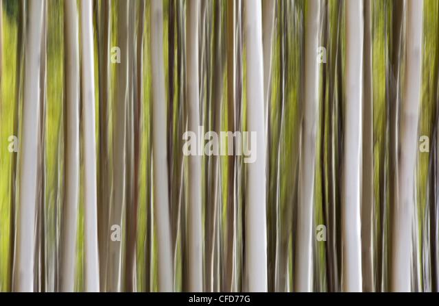 künstlerische vertikale Schwenken der Espe Bäume in Kananaskis Country, Alberta, Kanada. Stockbild