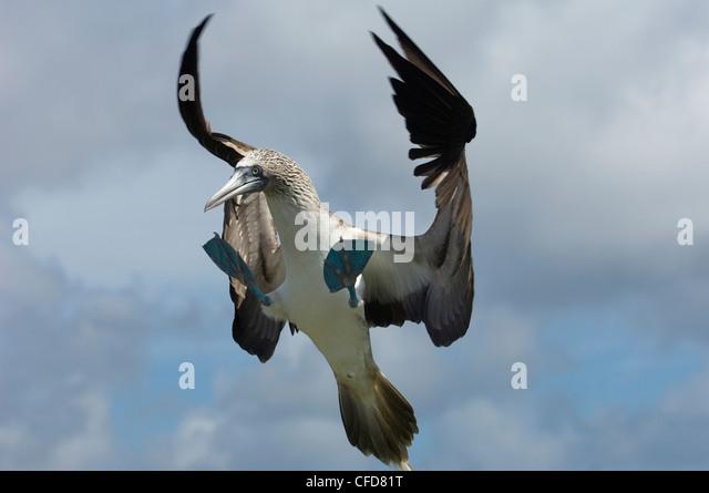 Blau-footed Sprengfallen, Punto Cevallos, Espanola (Haube) Insel, Galapagos-Inseln, Ecuador, Südamerika. Stockbild