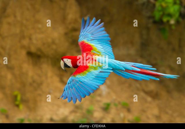 Rot-Grüne Aras (Ara Chloroptera) fliegen in Peru. Stockbild