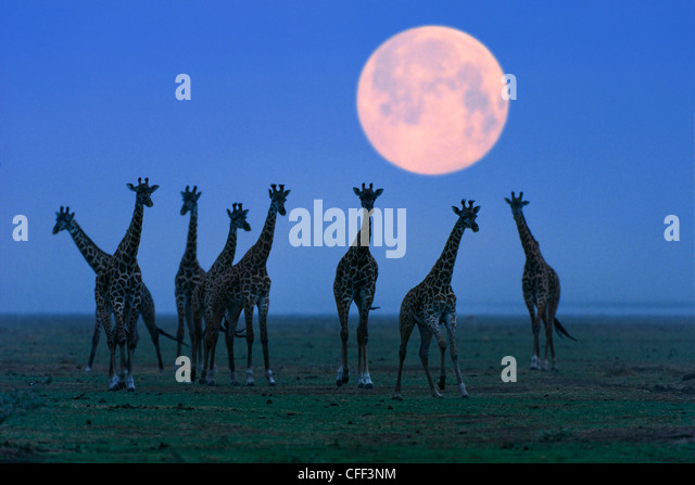 Massai-Giraffen bei Vollmond, Serengeti, Tansania, Ostafrika, Afrika Stockbild