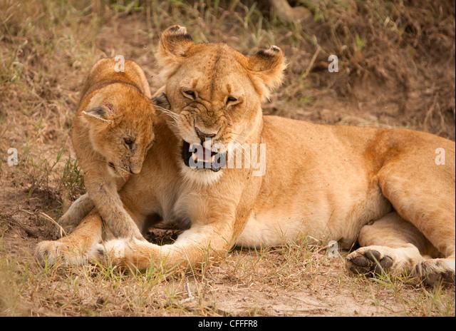 Mutter Löwe spielt mit ihr junges auf Masai Mara. Stockbild