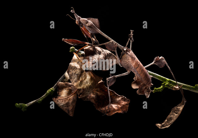Geige Mantis weiblich zeigt ausgezeichnete Tarnung unter toten Blätter. In Gefangenschaft. Verbreitung: Indien - Stock-Bilder