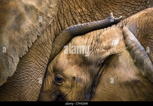 Junge afrikanische Elefanten mit Mutter, Cabarceno, Spanien Stockbild