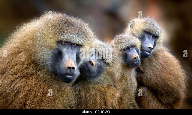 Guinea-Pavian Familie, Cabarceno, Spanien Stockbild