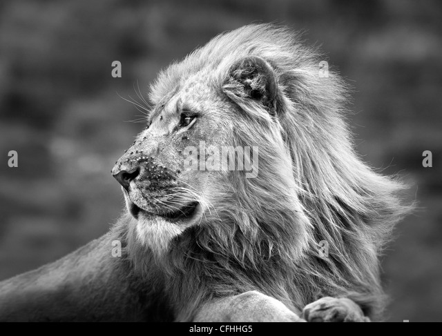 Afrikanischer Löwe Porträt, Südafrika Stockbild