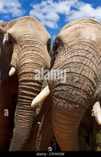Nahaufnahme von zwei afrikanischen Elefanten, Südafrika Stockbild