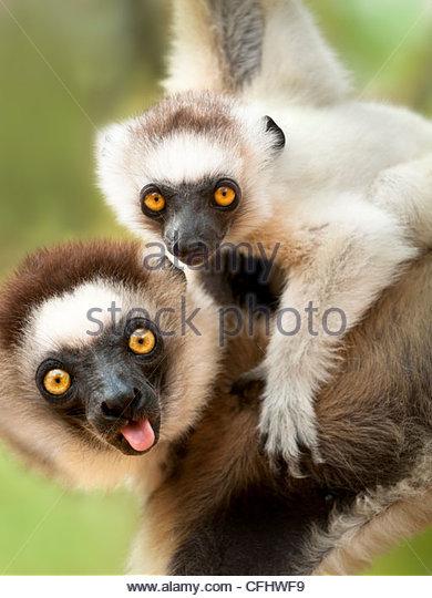 Weibliche Verreaux Sifaka mit 4-5 Monate altes Kleinkind, Berenty, Madagaskar Stockbild