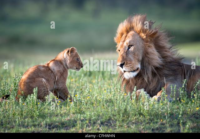 Männlichen afrikanischen Löwen spielen mit 4 Monate alten Jungen, großen Marsh, Ndutu, Serengeti, Stockbild