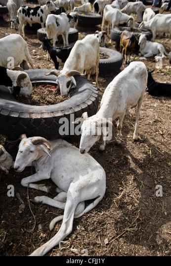 Rams für Festival von Tobaski, am Straßenrand Vieh zu vermarkten, Brikama, Gambia Stockbild