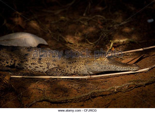 Amerikanisches Krokodil, Sci Name; Crocodylus Acutus, neben Lago Gatun (Gatun See), Provinz Panama, Republik von Stockbild