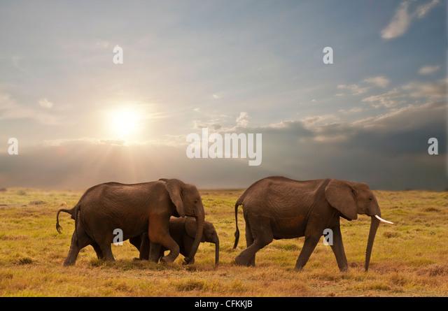 Elefantenfamilie im Amboseli Nationalpark, Kenia Stockbild