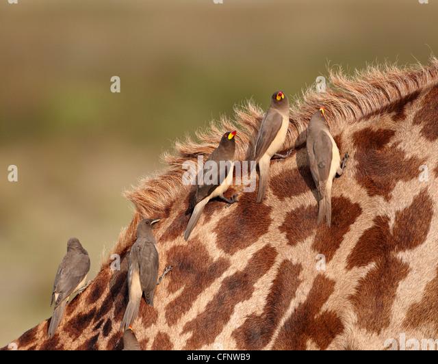 Einige gelb-billed Oxpecker (Buphagus Africanus), Serengeti Nationalpark, Tansania, Ostafrika, Afrika Stockbild