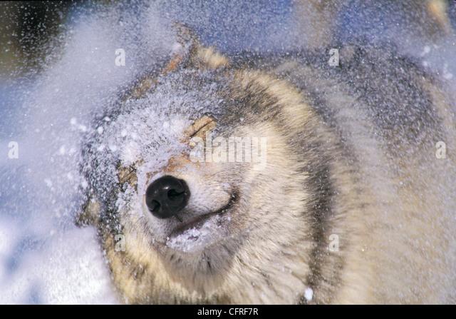 Grauer Wolf (Canis Lupus) schütteln Schnee aus Gesicht, Rocky Mountains Stockbild