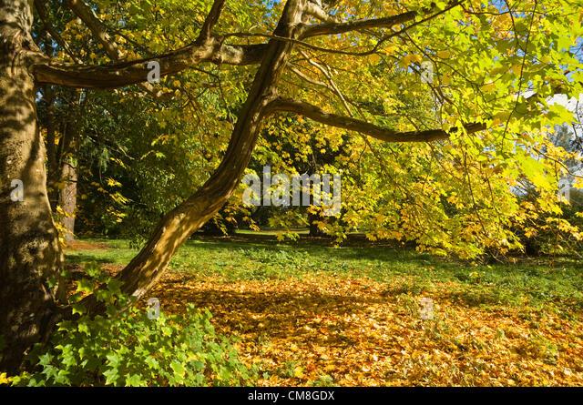 27. Oktober 2012 UK zündeten Arboretum Herbst Farbe.  Sonnigen hellgelb Blätter der kaukasischen Ahorn Stockbild