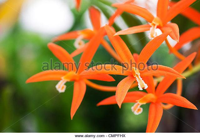 Laelia Harpophylla. Sichel Blatt Laelia. Orchidee blüht Stockbild