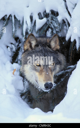 Tk0530, Thomas Kitchin; Grauer Wolf/Timberwolf. Winter. Rocky Mountains. Canis Lupus. Stockbild
