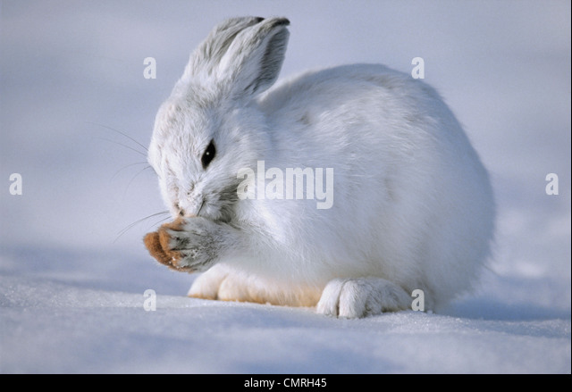 Tk0586, Thomas Kitchin; Schneeschuh-Hasen im Wintermantel. Tarnung im Schnee. Nord-Amerika. Lepus Americanus. Stockbild