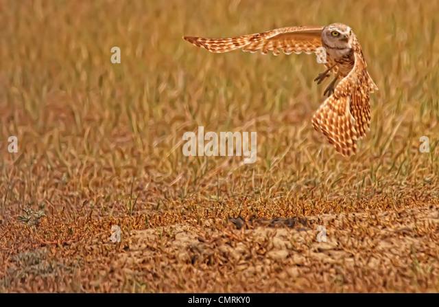Digital Imagegewinn mit malerischer Wirkung von Kanincheneule Flug, Grasslands National Park, Saskatchewan Stockbild