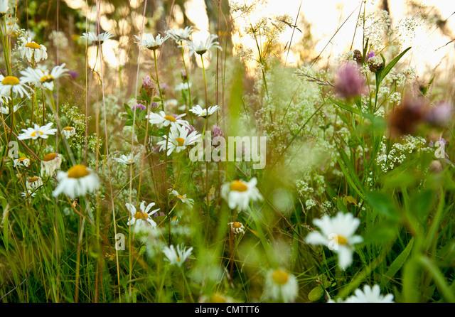 Selektiven Fokus von wilden Blumen Stockbild