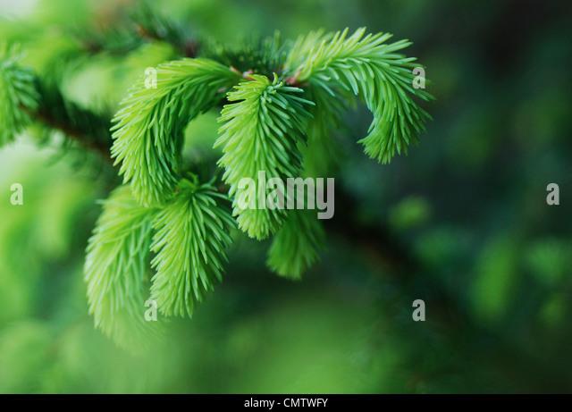 Selektiven Fokus der Nadelbäume Baum Stockbild