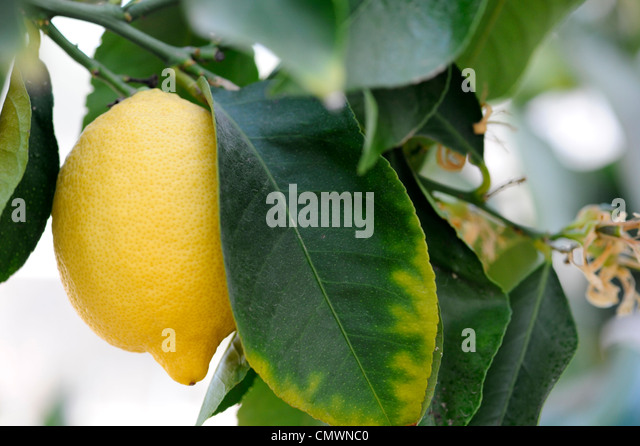 Citrus limon 'Vier Jahreszeiten'. Zitrone Frucht am Baum an der RHS Wisley Gardens, Surrey, Großbritannien Stockbild