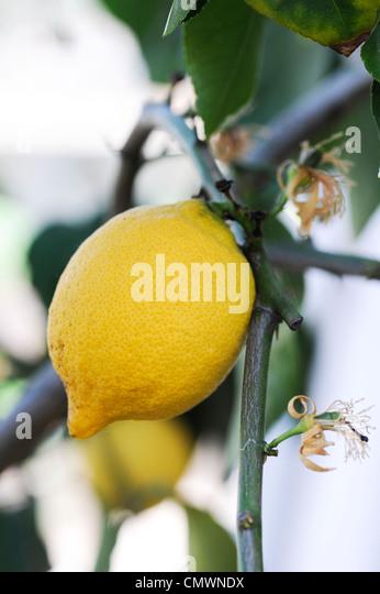 """Citrus Limon """"vier Jahreszeiten"""". Zitronen-Frucht am Baum Stockbild"""