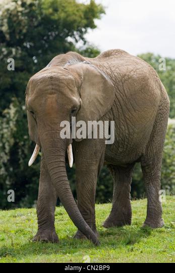 Afrikanischer Elefant - Loxodonta africana Stockbild