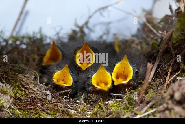 Fünf Robin Küken im nest Stockbild