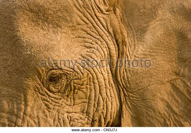 Nahaufnahme von einem afrikanischen Elefanten, Botswana Stockbild