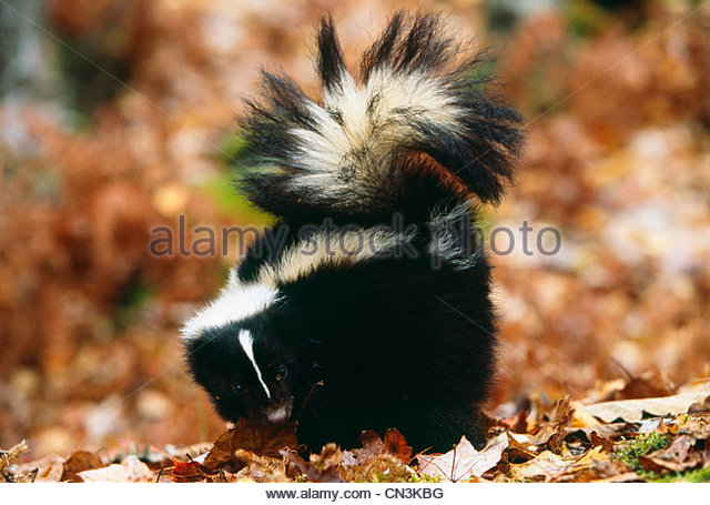 Striped Skunk in Herbstfarben, Minnesota Stockbild