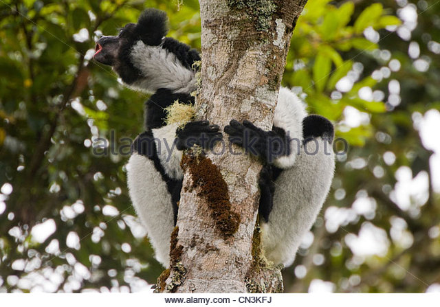 Indri vocalizing, Madagaskar Stockbild