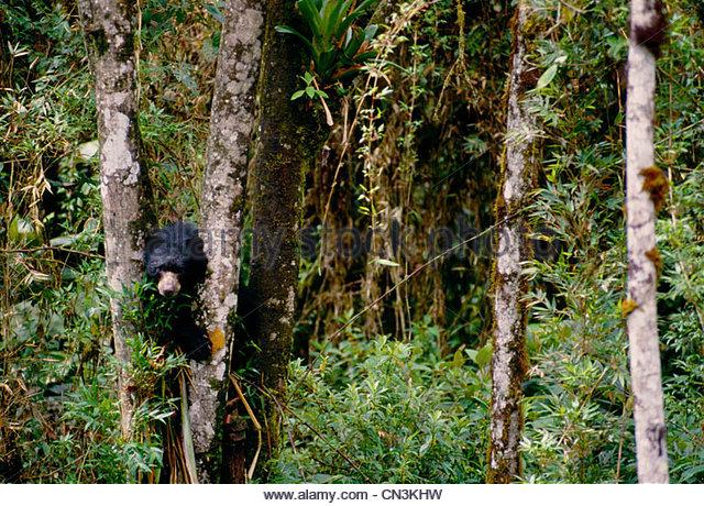 Brillenbär, La Planada Wildlife Reserve, Kolumbien Stockbild