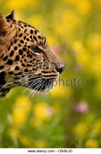Leopard, Südafrika - Stock-Bilder